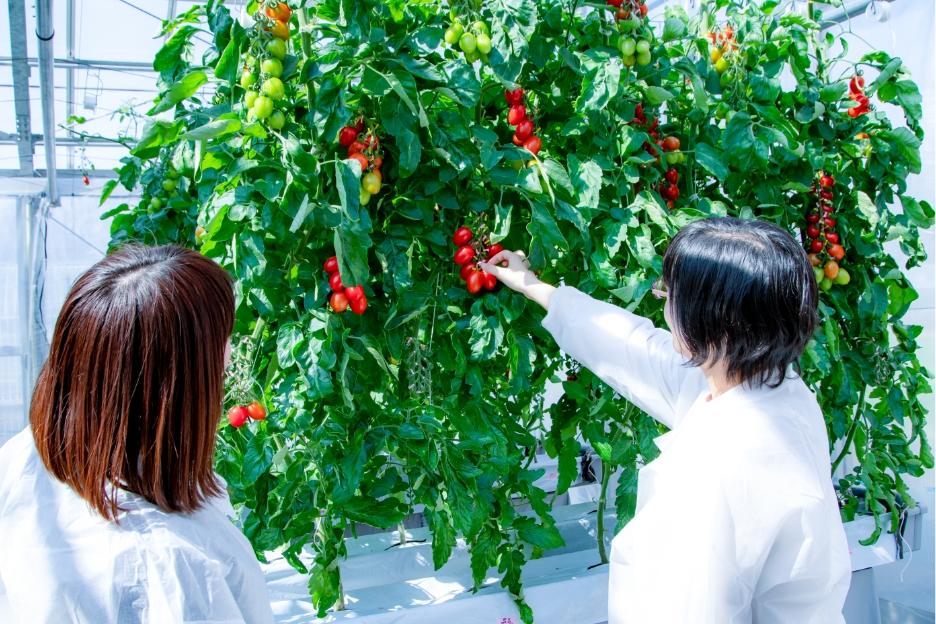 Japonia a aprobat comercializarea tomatelor obținute prin editarea genomului!